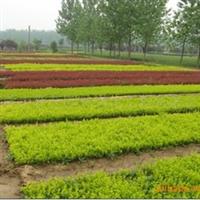 批发供应绿化袋苗小叶黄杨工地用苗