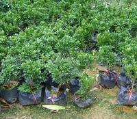 批发供应绿化常用袋苗米兰