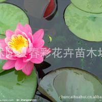 水生植物。。睡莲新品种***粉牡丹。花朵粉色