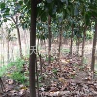 大量供应常绿乔木、胸径10公分优质地苗橡胶榕、印度橡皮树