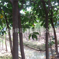 供250棵优质常绿大乔木、胸径11-12公分地苗橡胶榕(印度橡皮树)