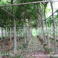 供应米径8公分无病虫害优质健康腊肠树、猪肠豆、阿勃勒绿化苗木