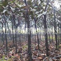 供应350棵6-7公分优质常绿乔木橡胶榕(黑金刚)、地苗橡皮榕