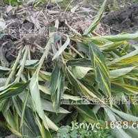 常年供应海桑(红树植物)