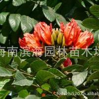 批发供应火焰木(5-20公分胸径)