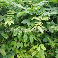 供应火焰木假植苗7-20cm