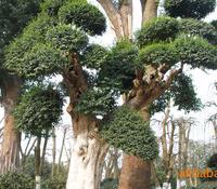 春韵苗圃大量供应各规格精品造型榆树古桩精品苗圃