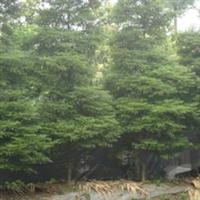 楠木优质树苗四川基地直销绿化苗木批发量大从优
