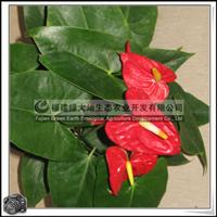 迷你小植物红掌室内观花盆栽