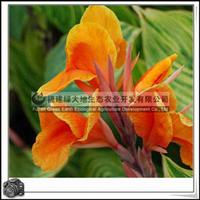 金脉美人蕉观花植物观叶植物净化空气