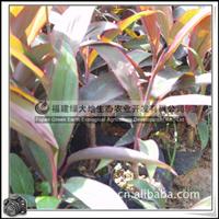 观叶植物百合科亮叶朱蕉园林绿化苗木
