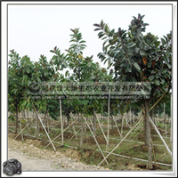 绿化苗木乔木橡皮树胸径15-20公分