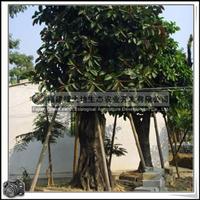 绿化苗木乔木橡皮树胸径40-50公分