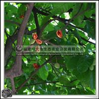 乔木梧桐科苹婆园景树