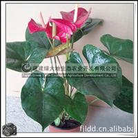 红掌多年生草本植物高档热带切花
