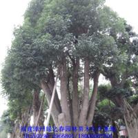 出售大树漳州大型移植香樟胸径50-120公分香樟古树景观树