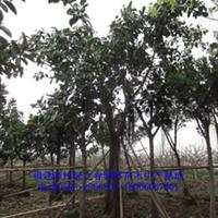福建橡胶榕胸径10-12公分漳州橡皮树农户价格橡皮榕欲购从速