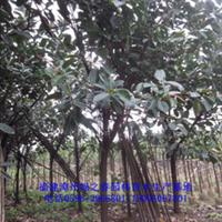 福建漳州直销橡皮树胸径8-10公分印度橡胶榕橡皮榕便宜清场出售