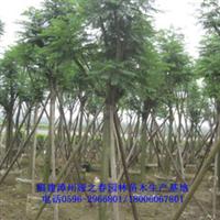 福建绿化树蓝花楹胸径8-12公分夏秋开花漳州农户价格欲购从速