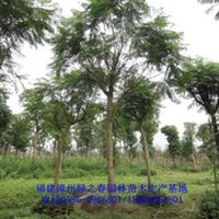低价批发漳州蓝花楹福建基地胸径12-18公分蓝雾树蓝紫色花