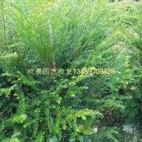 绿化苗木红豆杉批发盆栽红豆杉批发产地直销
