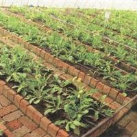 烟草专用蛭石-专业育苗基质生产厂家直销