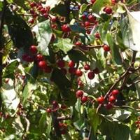 园林绿化苗木-山丁子-山荆子-大苗