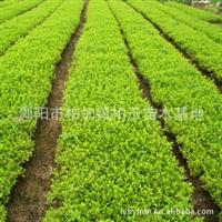 批量供应园林绿化小苗杜鹃球胸径10-50公分