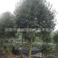 供应乐昌含笑(景也白兰)胸径6-20公分园林绿化乔木