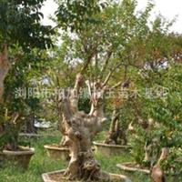 各种绿化工程苗木专业供应紫微树