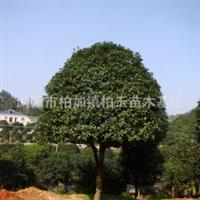 大量供应4-20公分精品乔木——丹桂