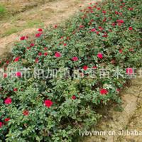 供应钻石月季观花丛生型