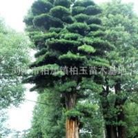 大量供应绿化苗木优质罗汉松