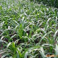供应玉米草