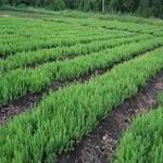 苗圃较低价格供应东北大兴安岭兴安落叶松种子100斤(发芽率50%)