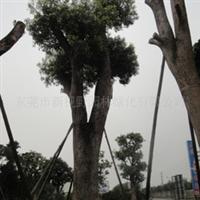 供应香樟树