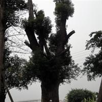80-100公分香樟树