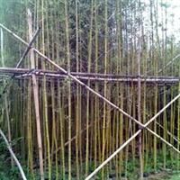 供应10-12公分移栽香樟