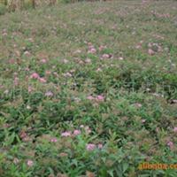 供应绣线菊