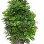 供应植物租赁植物室内植物