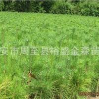 批发【营养钵油松】【营养袋白皮松】陕西周至园林绿化苗木供应商