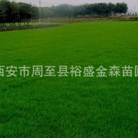 批发【草坪】【地皮】陕西/河南/宁夏/四川草坪供应商/园林绿化苗