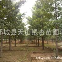供应银杏树苗银杏苗木银杏树10公分银杏树15公分银杏(图)