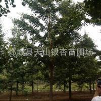 银杏树银杏树价格银杏树苗银杏苗木银杏树20公分(图)