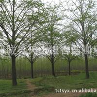 供应银杏树苗银杏苗木银杏树25公分银杏树12公分银杏(图)