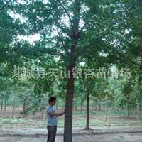 供应银杏树苗银杏苗木银杏树银杏树20公分银杏树25公分(图)