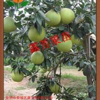 果型较大的柚子�g溪蜜柚苗供应商
