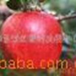 供应红富士苹果苗木