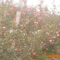 SH系列矮化中间砧苹果苗
