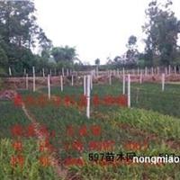 南方红豆杉/南方红豆杉种子/南方红豆杉杯苗/南方红豆杉小苗